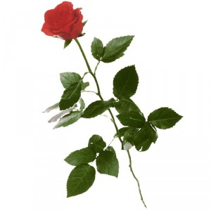 1 rote Rose (langstielig)